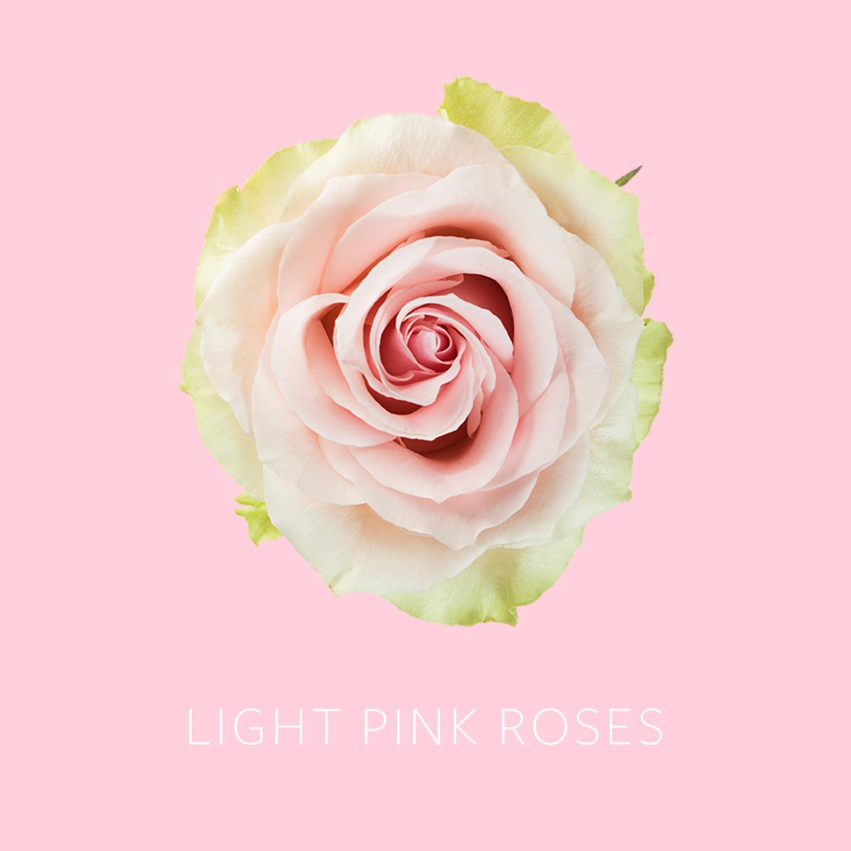 Light Pink Roses.jpg
