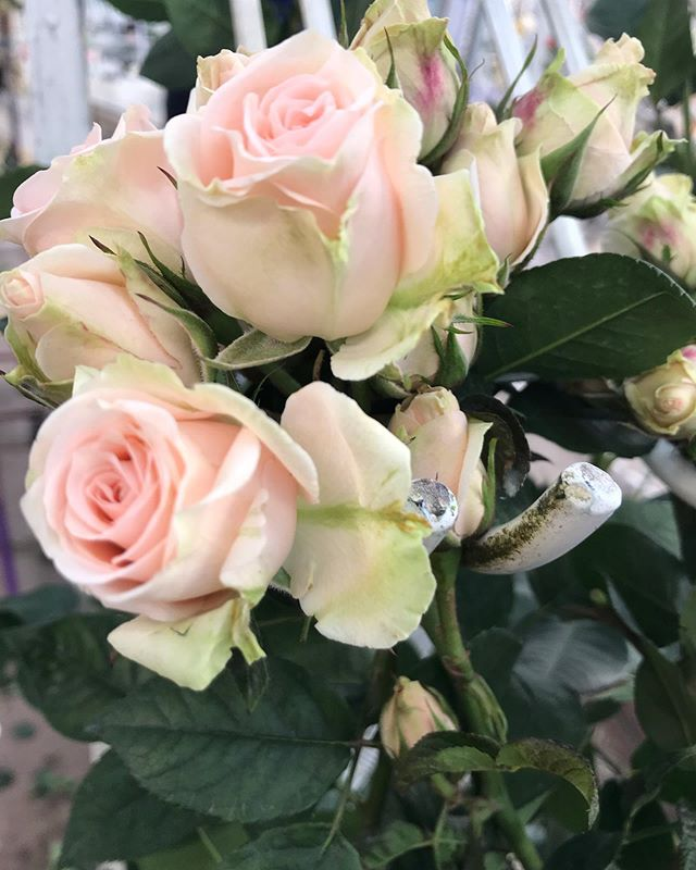 Our pretty little Ginger spray roses...