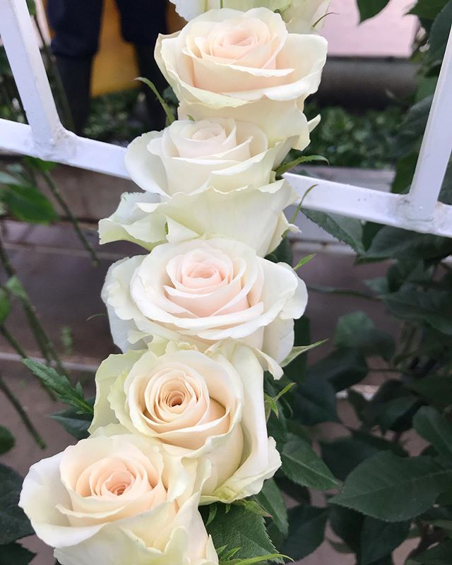 Meet Lynn. The lovely new cream addition to our extensive family. 🧁 #cananvalle #ecuadorianroses #premiumroses #creamroses #weddingflowers