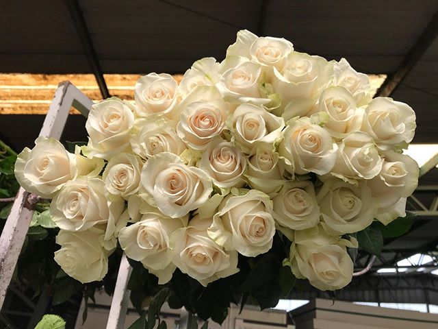 Our lovely Lynn, cream roses. Aren't they a charm 🧁  #creamroses #ecuadorianroses #roses #flowersofinstagram #cananvalle #fresh #farmdirect
