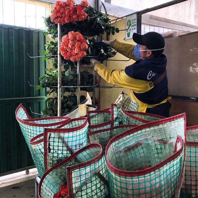 Wake up and seize the day! Our farm staff processing our Carpe Diem roses.  #roses #ecuadorianroses #cananvalle #fresh #farmdirect #carpediem #carpediemroses #peachroses