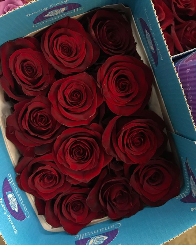 How about these spectacular Explorer roses? No fancy filters. This is the actual color. A stunning velvet red with high petal count and lasting power. Pure luxury. Get yours today! 🌹  #explorerroses #redroses #cananvalle #ecuadorianroses #fresh #farmdirect
