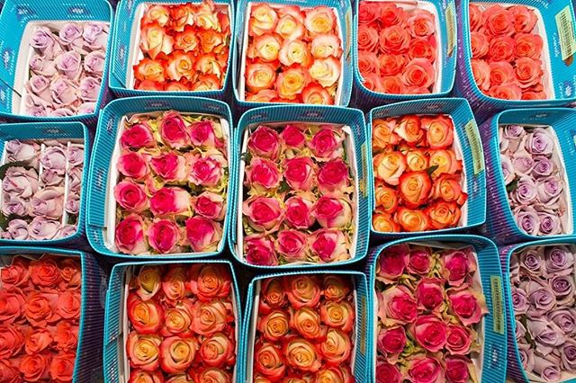 Stunning roses to fulfill your life of color 🥰 Paint your summer 🎨 #cananvalle #fresh #farmdirect #ecuadorianroses