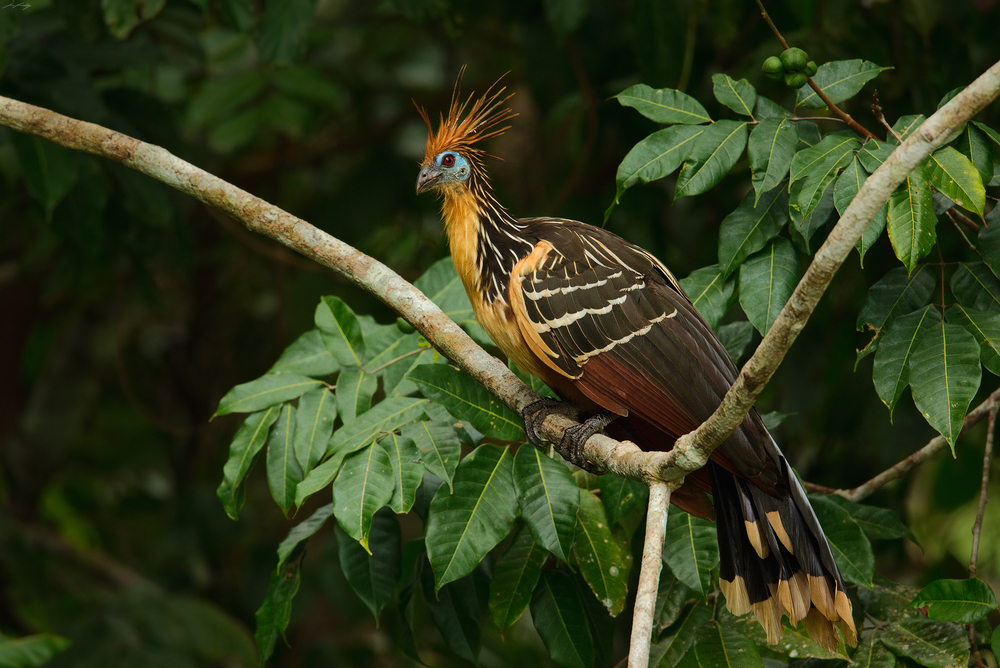 Hoatzin - Photo: Jess Findlay