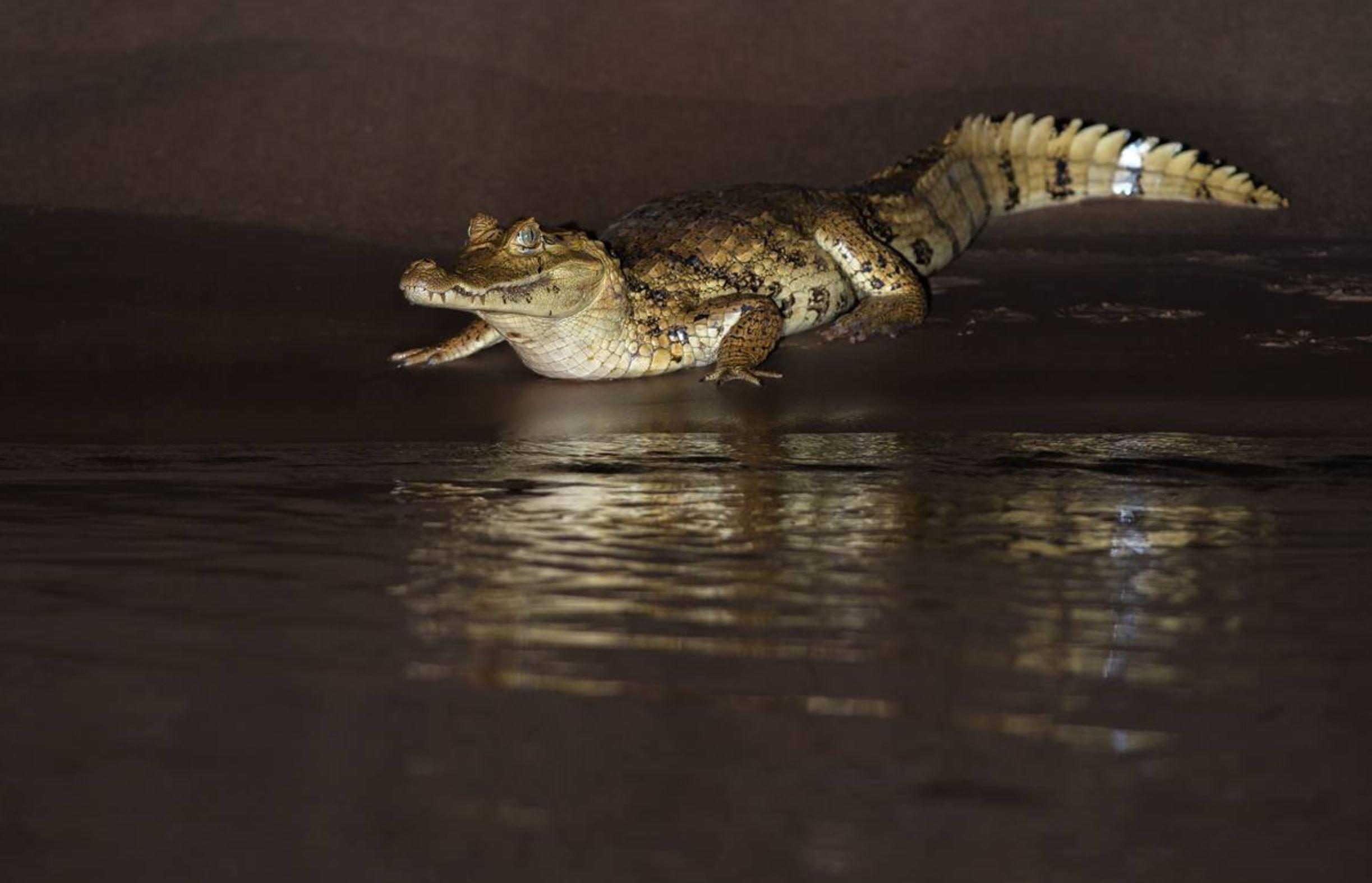 Spectacled Caiman - Photo: Alfredo Fernandez