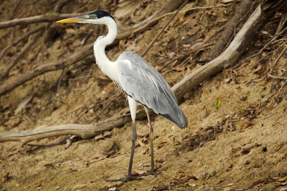 Cocoi Heron – Photo: Wikipedia Commons
