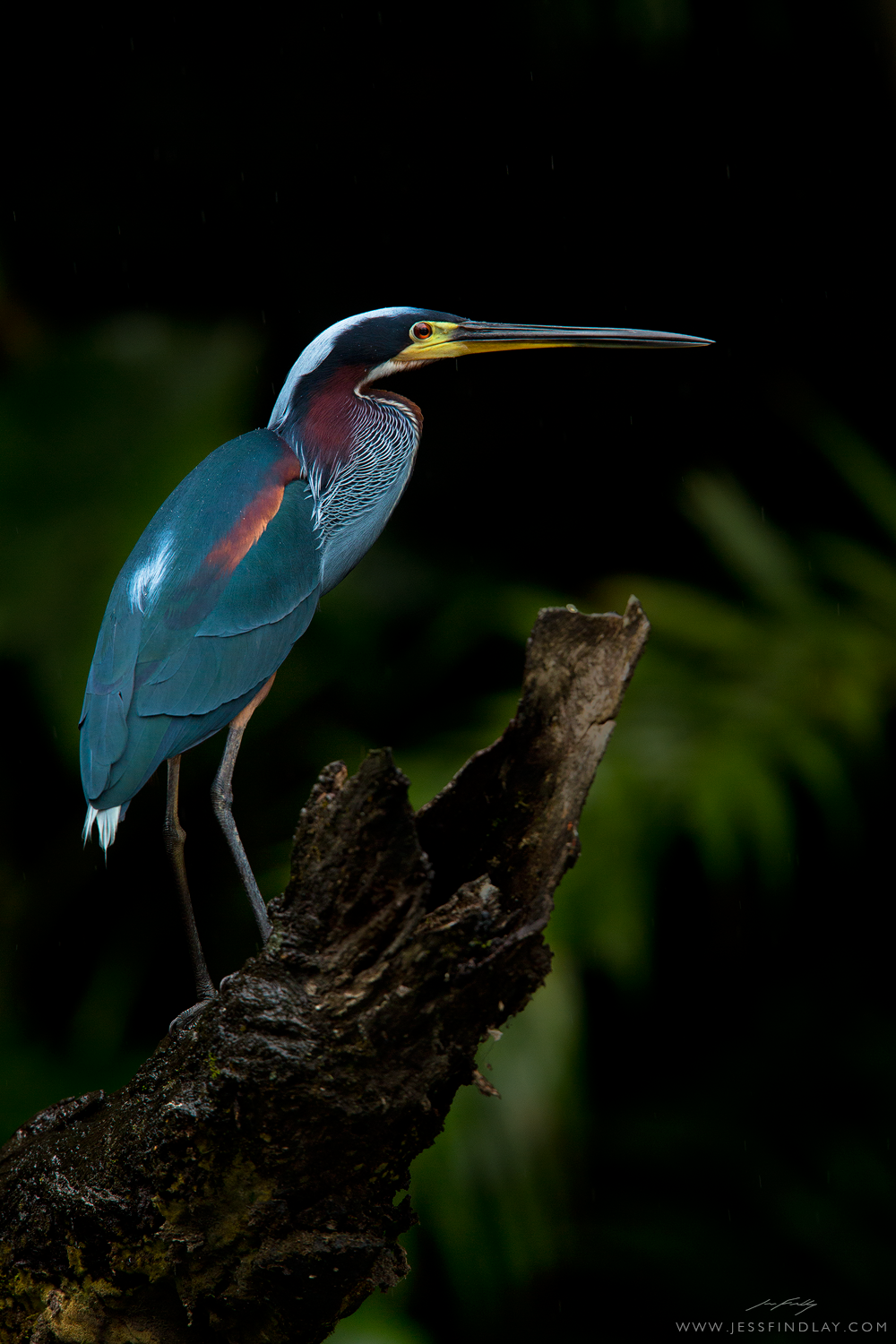 Agami Heron – Photo: Jess Findlay