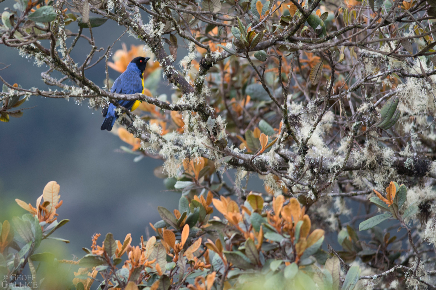 Hooded Mountain-Tanager – Photo: Geoff Gallice