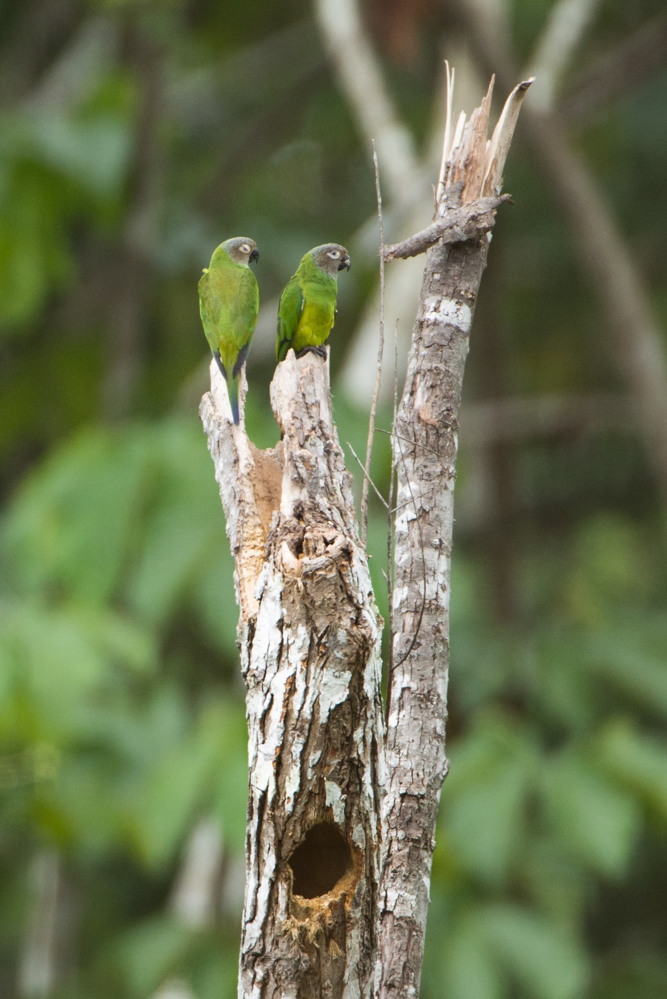 Dusky-headed Parakeets – Photo: Alfredo Fernández