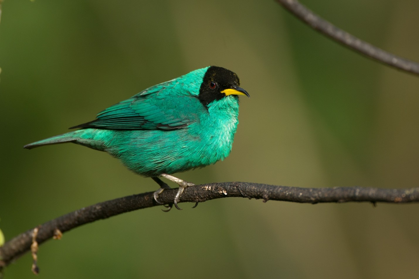 Green Honeycreeper – Photo: Alfredo Fernández