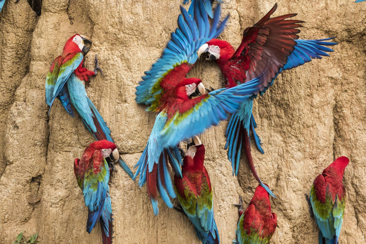Red-and-Green Macaws - Photo: Charlie Hamilton James/National Geographic
