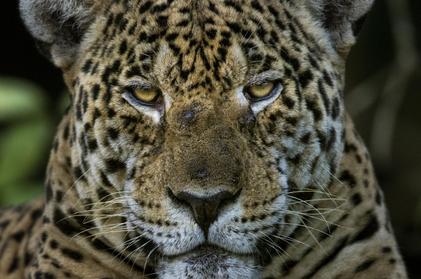 Jaguar - Photo: Charlie Hamilton James/National Geographic
