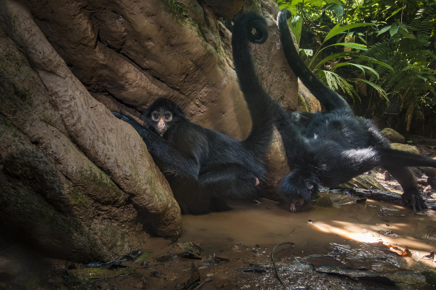 Spider Monkeys - Photo: Charlie Hamilton James/National Geographic