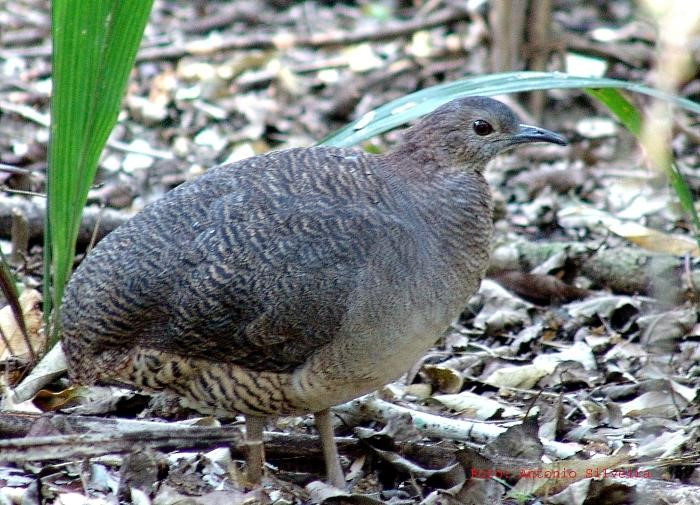 Undulated Tinamou - Photo: Internet Bird Collection (IBC)
