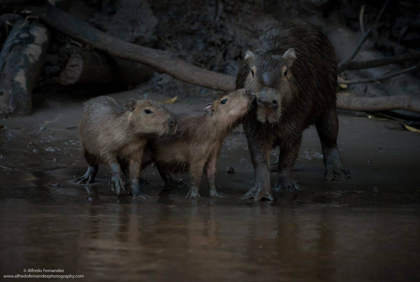 Capybara Family – Photo: Alfredo Fernandez