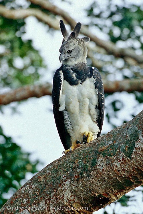 Harpy Eagle – Photo: Andre Baertschi