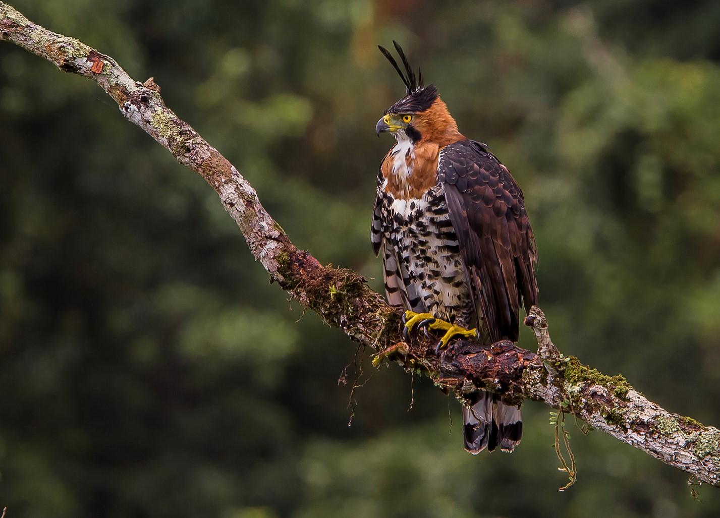 Ornate Hawk-Eagle – Photo: Joao Sergio Barros F. de Souza