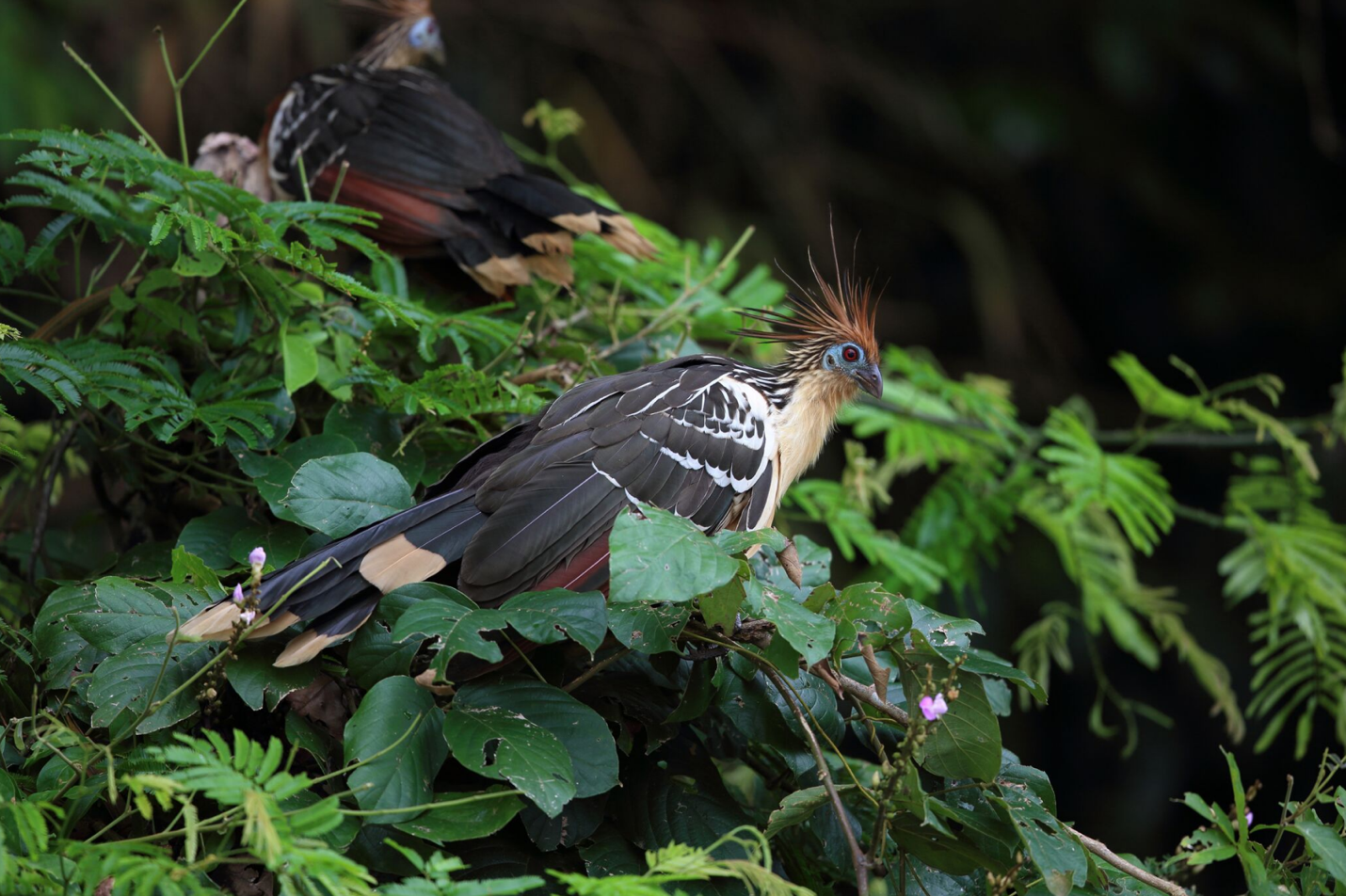Hoatzin – Photo: Walter Mancilla