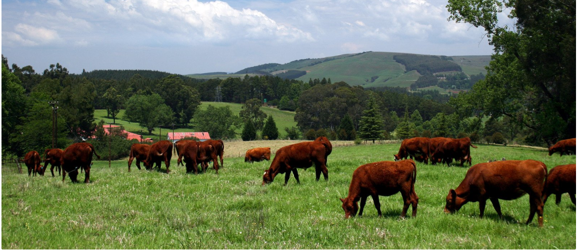 Classic example of Grass-Fed cows and steers.