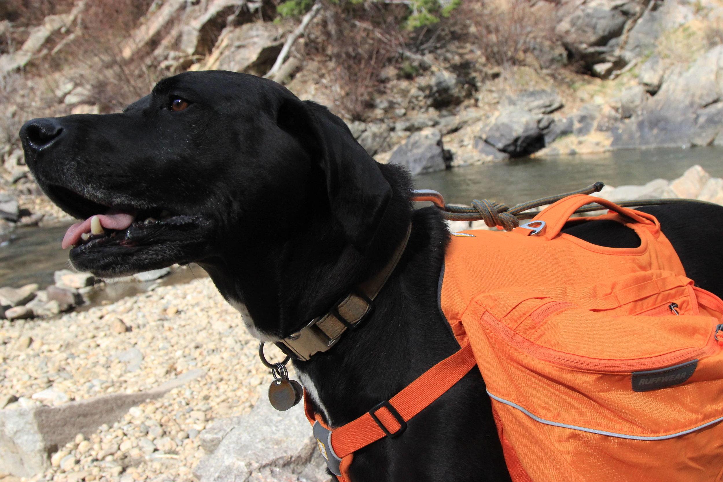 Champ tests the Ruffwear Palisade Dog Hiking Pack along Clear Creek in Colorado.   Photo courtesy Josette Deschambeault.