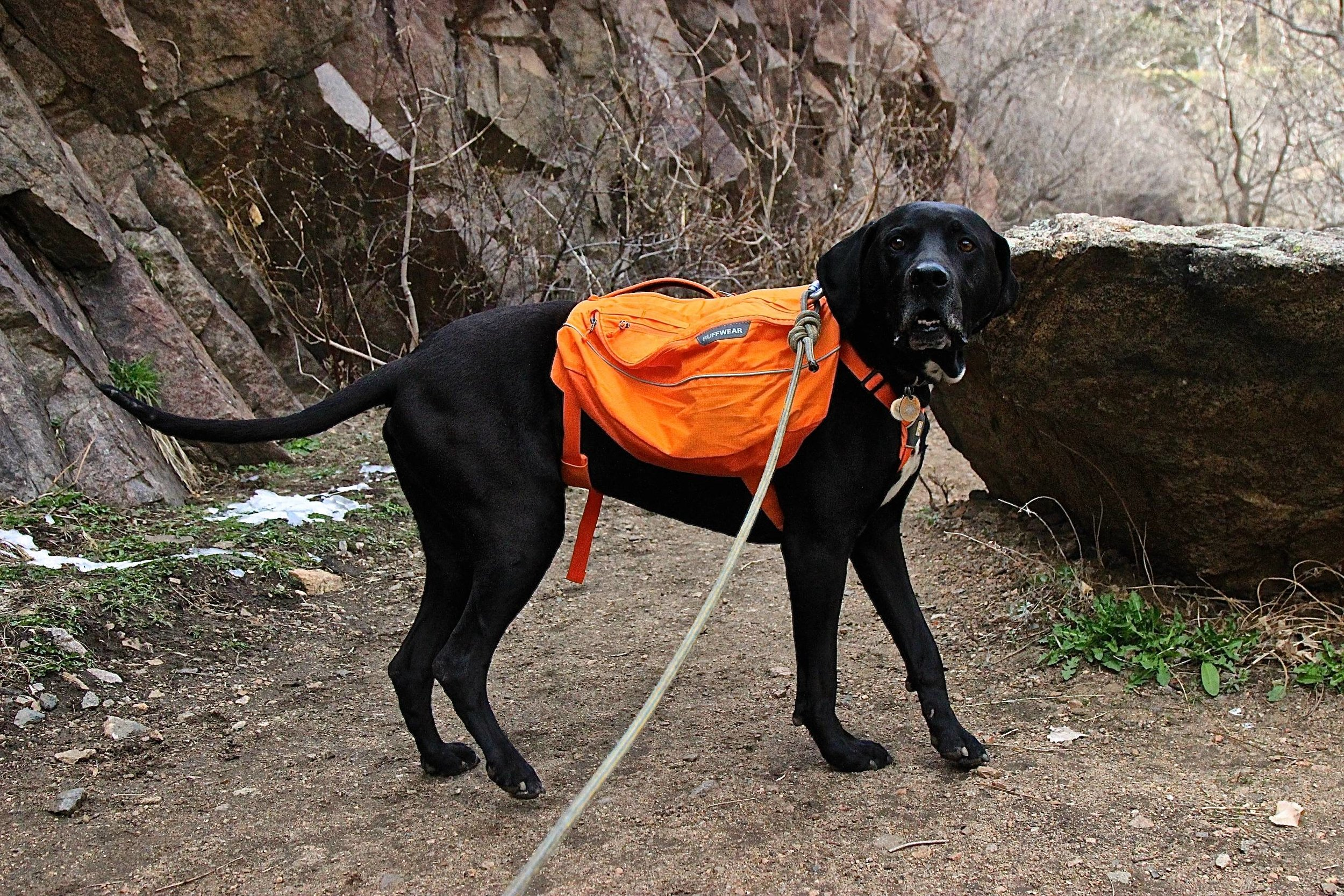 A view of the Ruffwear pack on a dog with leash attached.
