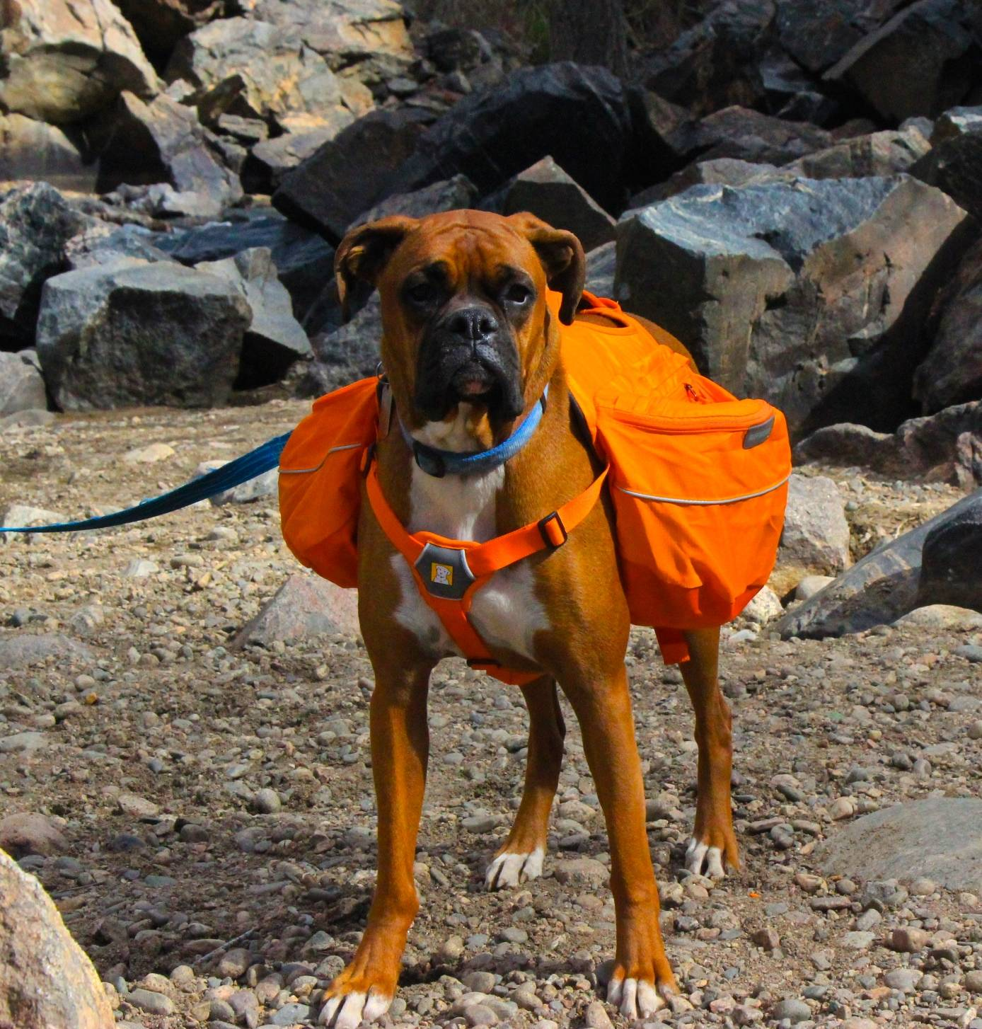 The Approach pack is able to fit the Boxer's more square-shaped body. This photo has a good angle on the padded chest strap, which we liked. Choosing a chest strap in orange also helps with visibility.   Photo courtesy Josette Deschambeault