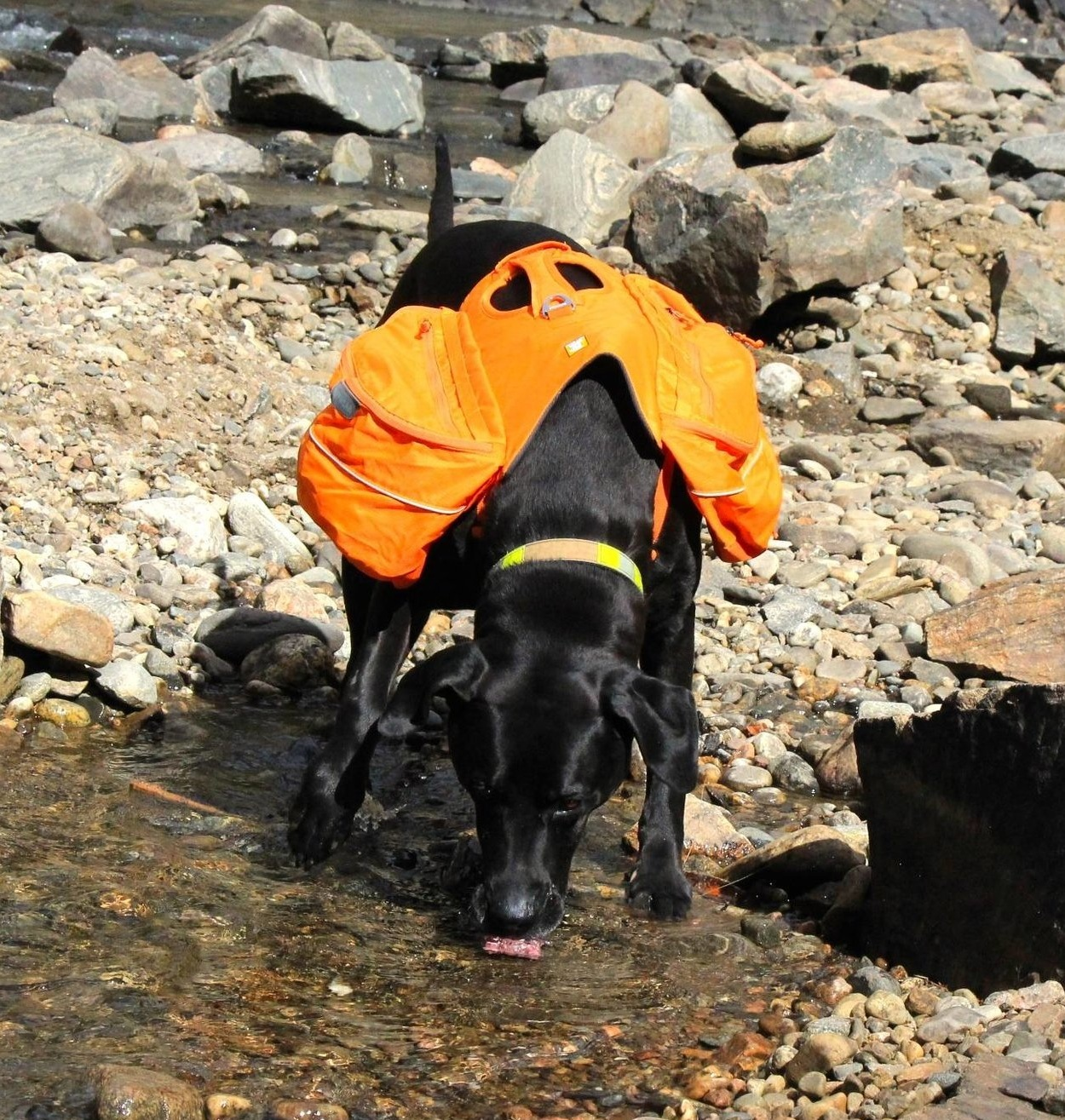 Champ drinking water with his Approach pack at Clear Creek, Colorado.   Photo courtesy Josette Deschambeault