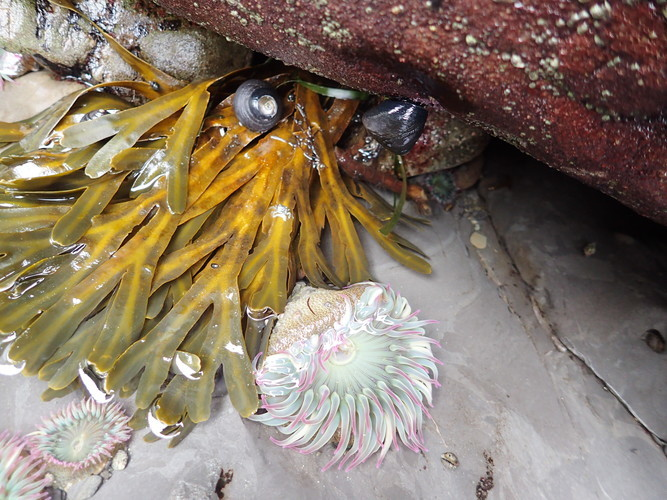 Close-up of sea anemones and kelp taken on the rugged beach of northern Washington.   Photo by Liz Thomas