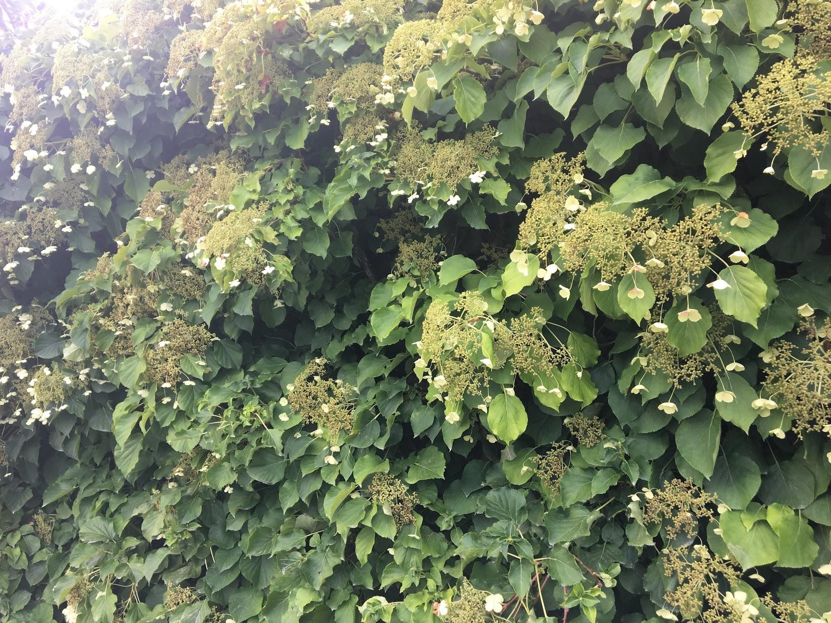 harvard-arboretum-vines.JPG