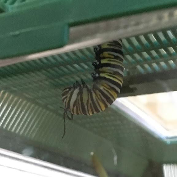 monarch caterpillar in J shape