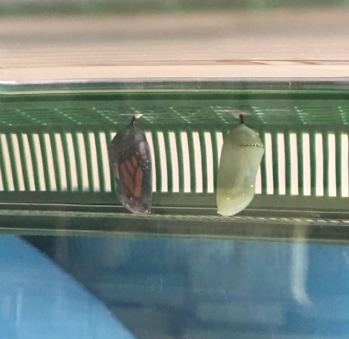 butterfly wings inside a clear chrysalis