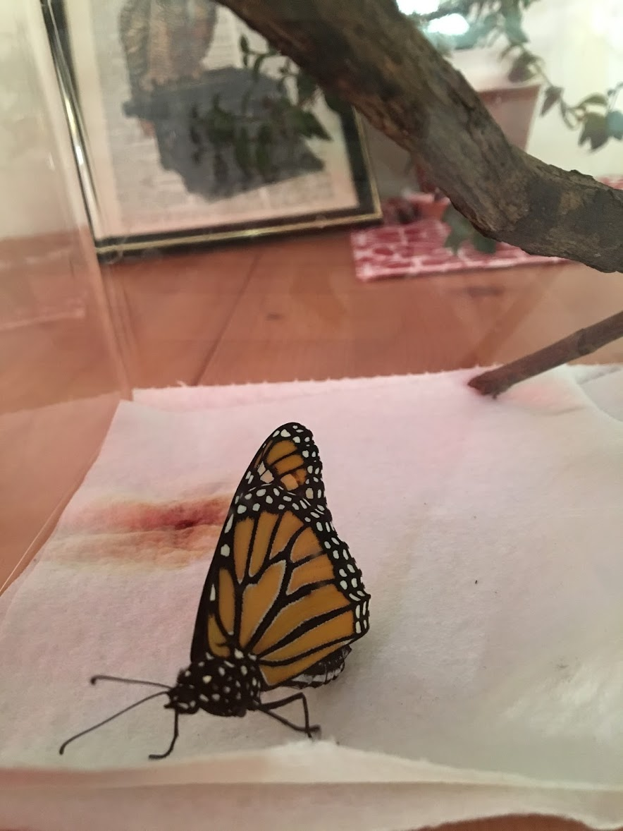 Dorothy the monarch butterfly