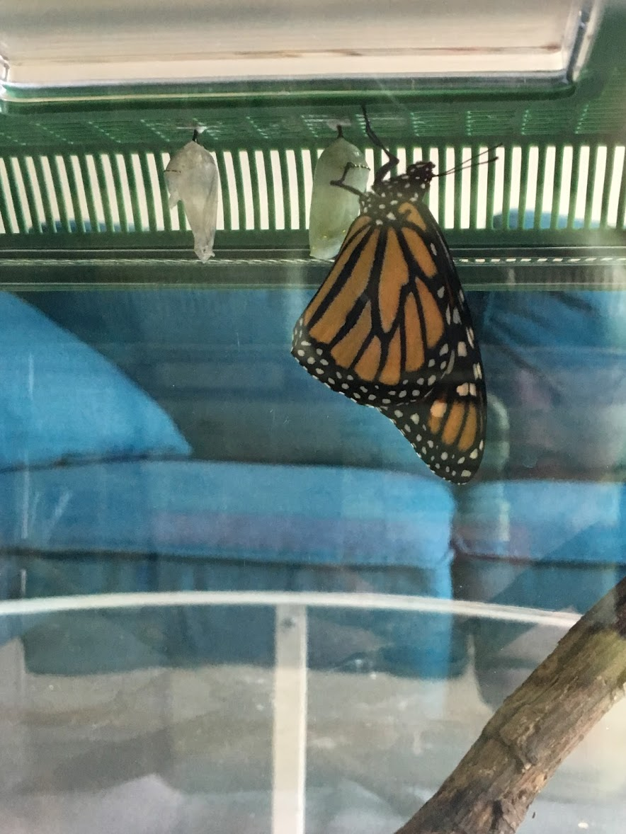 shirley the monarch butterfly