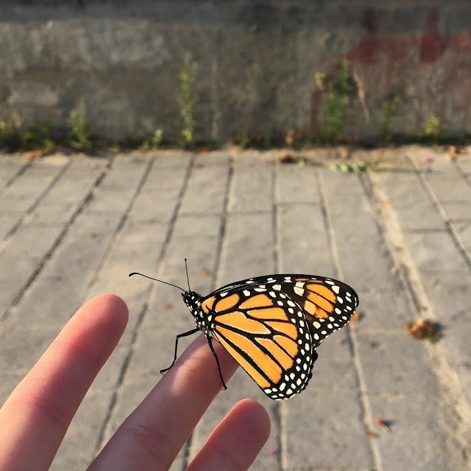 monarch butterfly just chillin on my hand