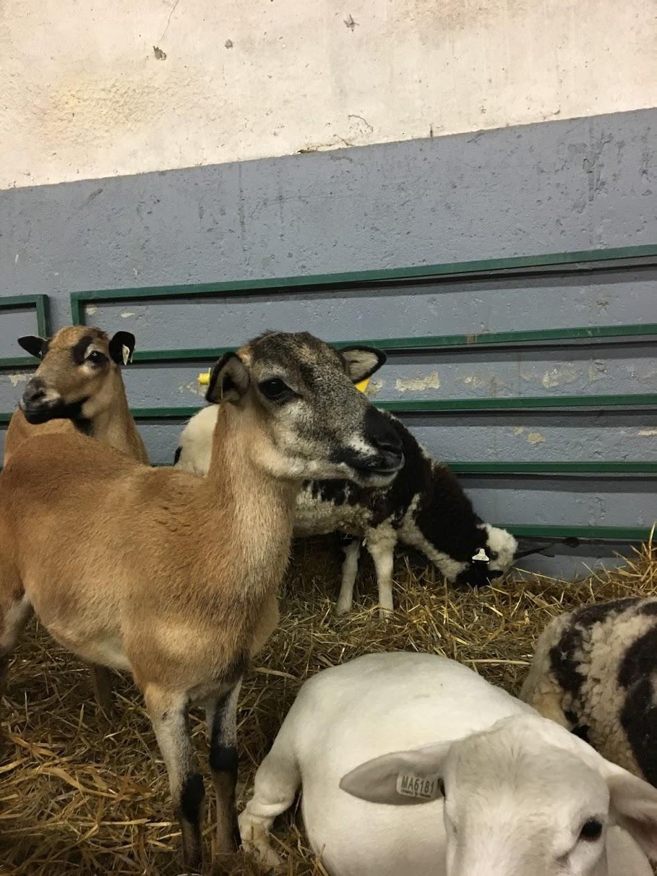 topsfield-fair-goats.JPG