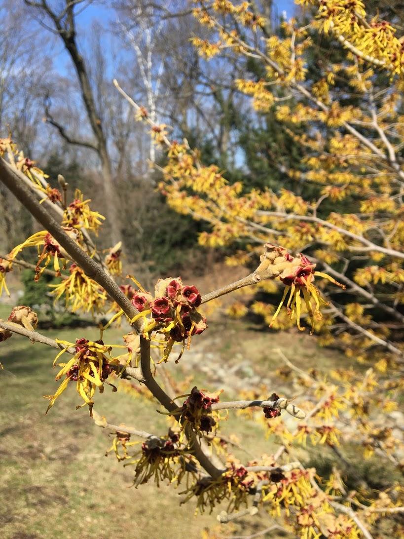 arnold-arboretum-yellow.JPG