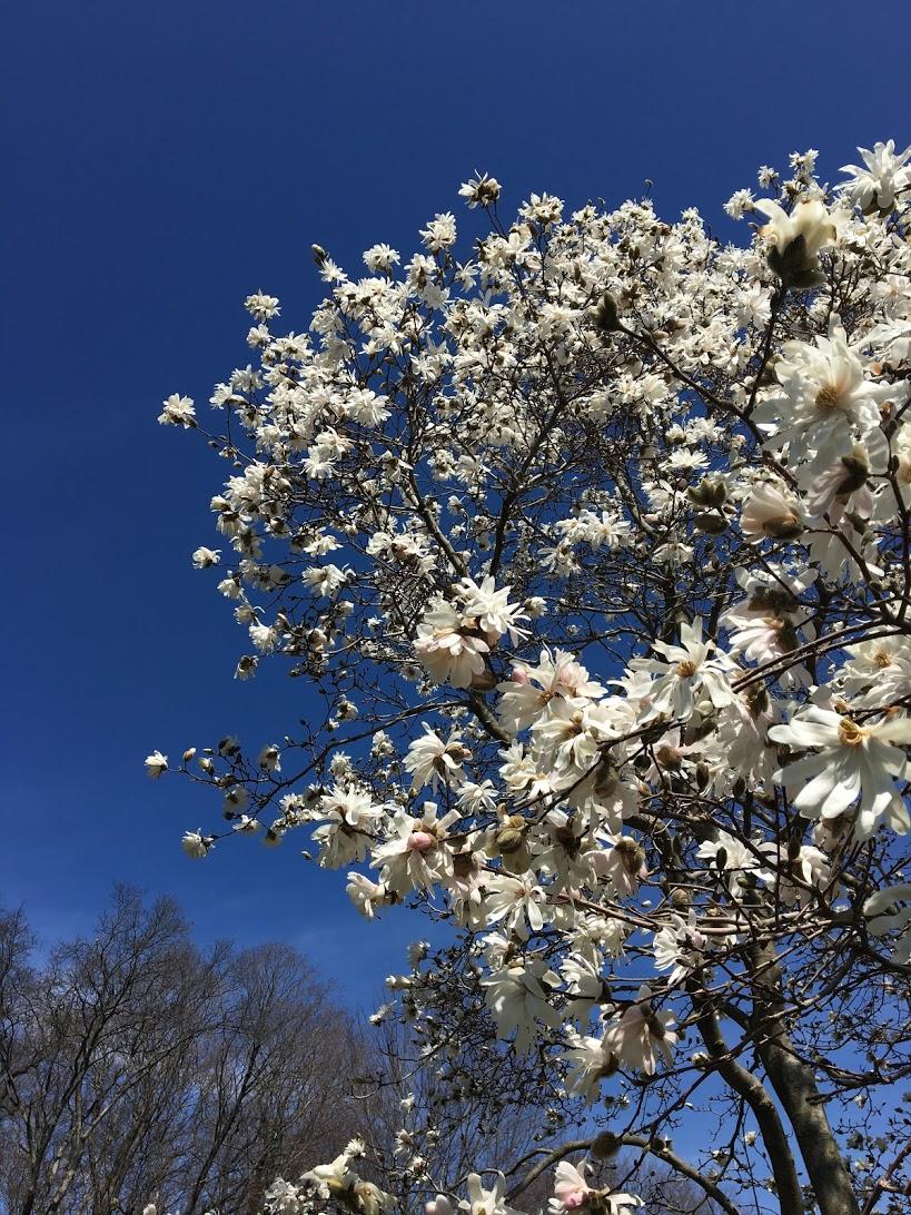 arnold-arboretum-white-tree.JPG