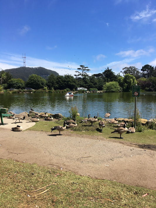 So many geese at Golden Gate Park