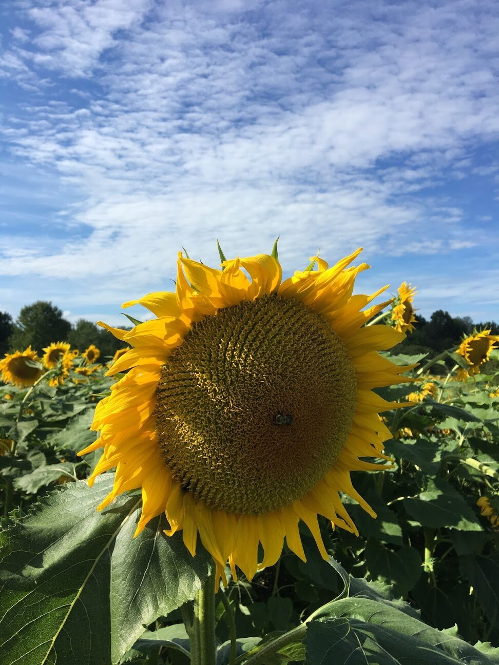 Big sunflower head with a bee in the middle!