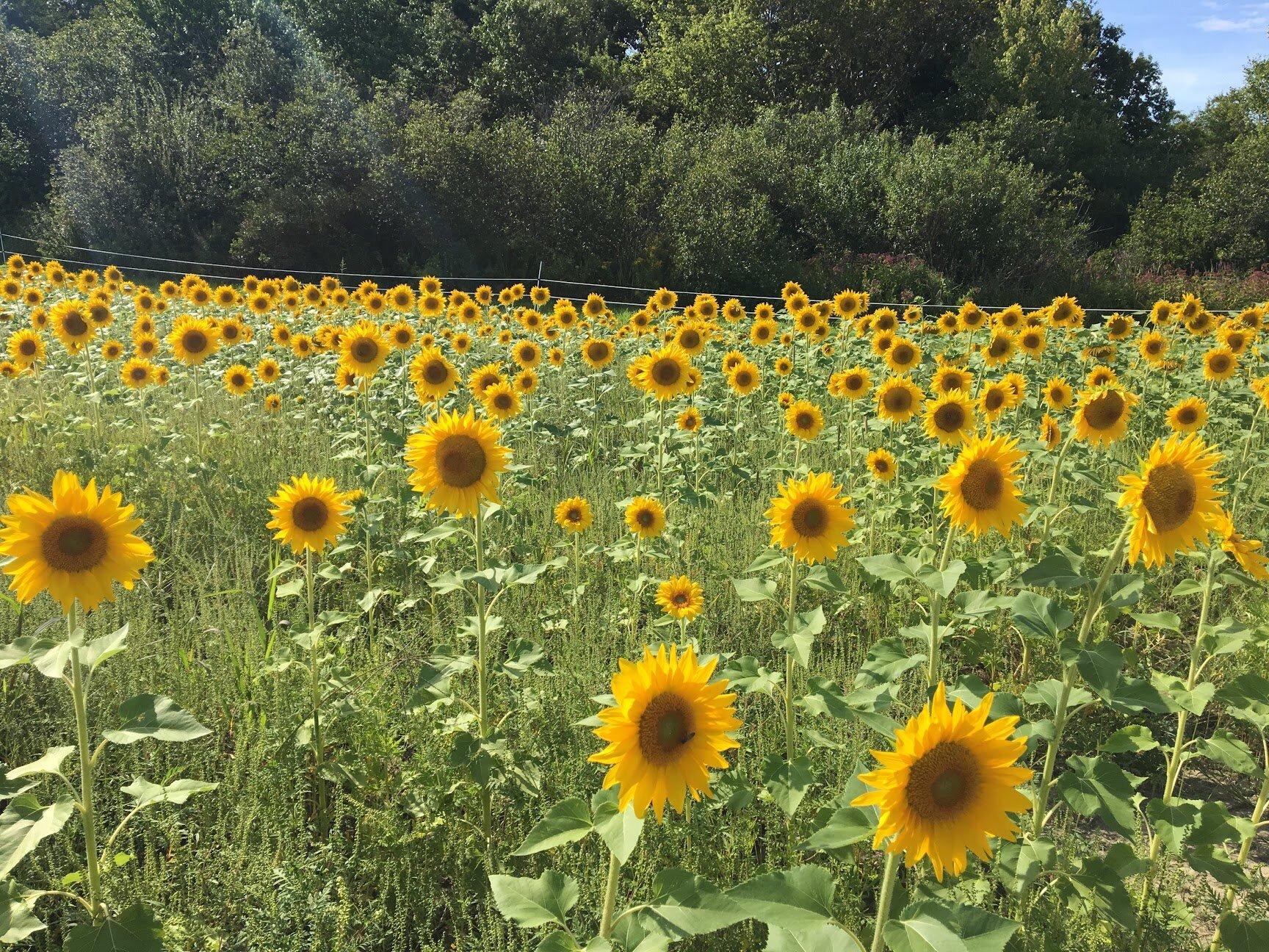 Beautiful School Street sunflowers