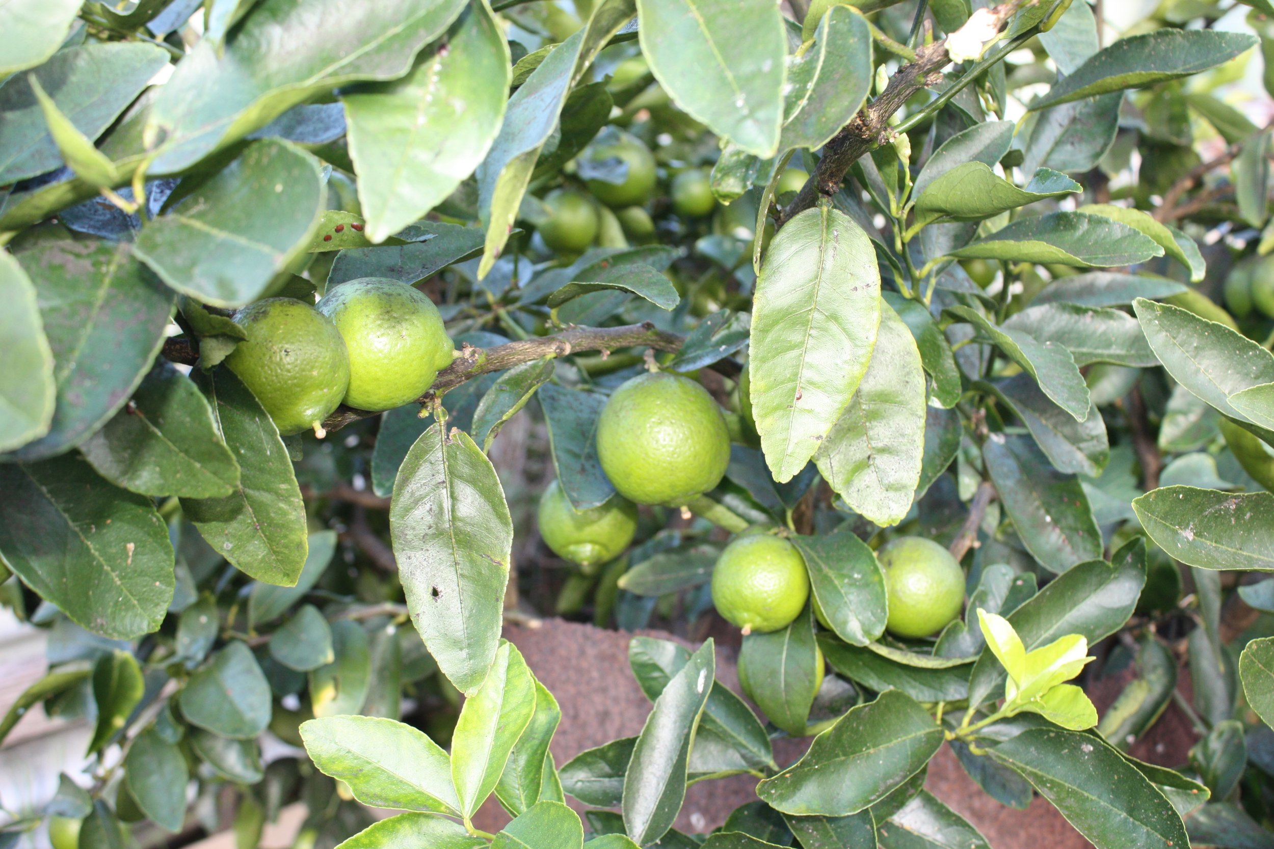 Limes in the garden growing abundantly with oranges, grapefruit, cumquats and four varieties of lemons.