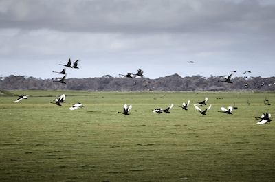 Fig 2 Black swans leaving the 'table' off the east coast paddocks adjacent to the wetlands.