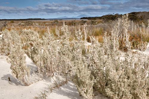 Fig 3 Flora across the dunes in the Ramsar wetlands