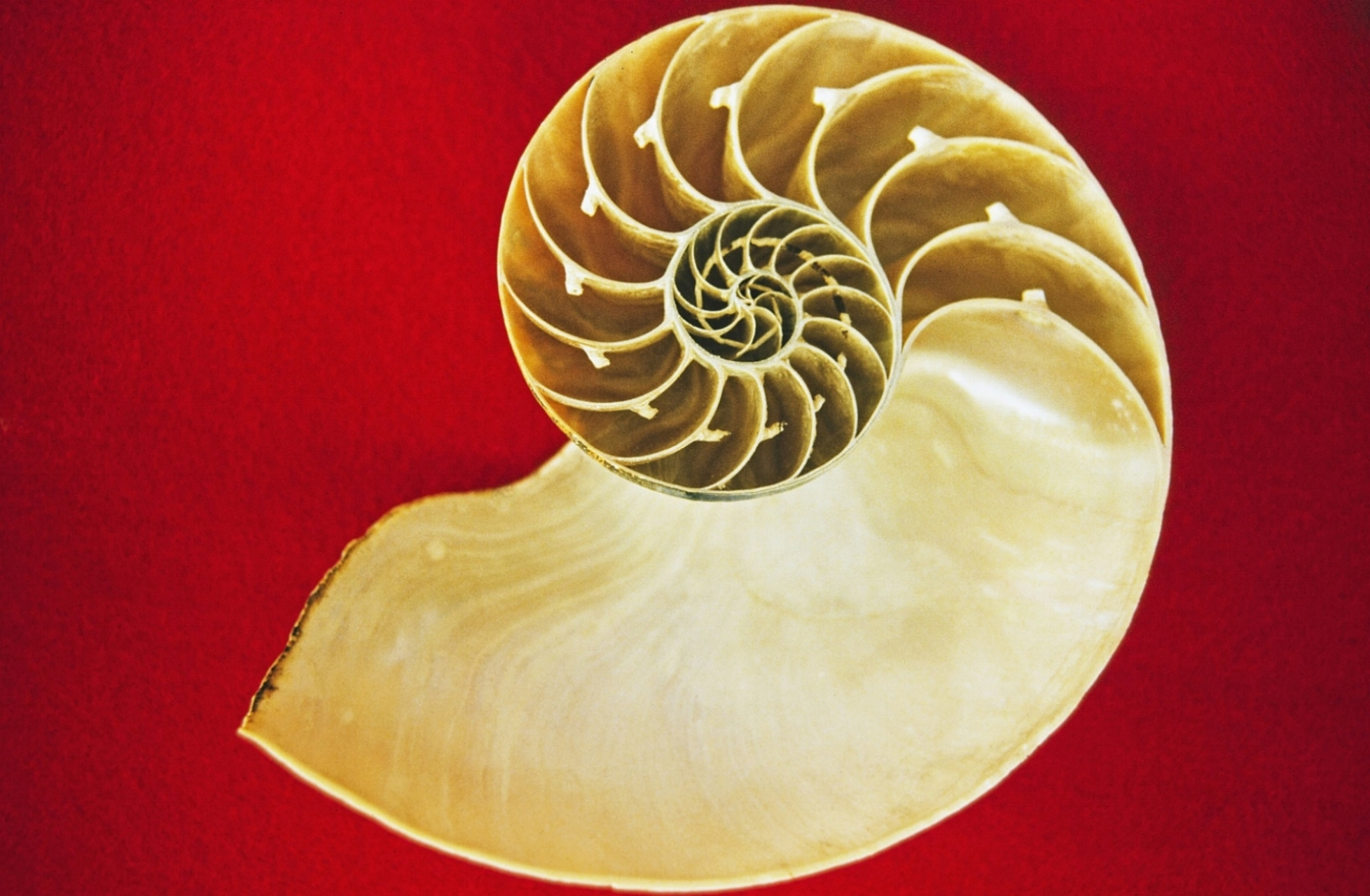 Shell patterns are a space-time diagram of nature.