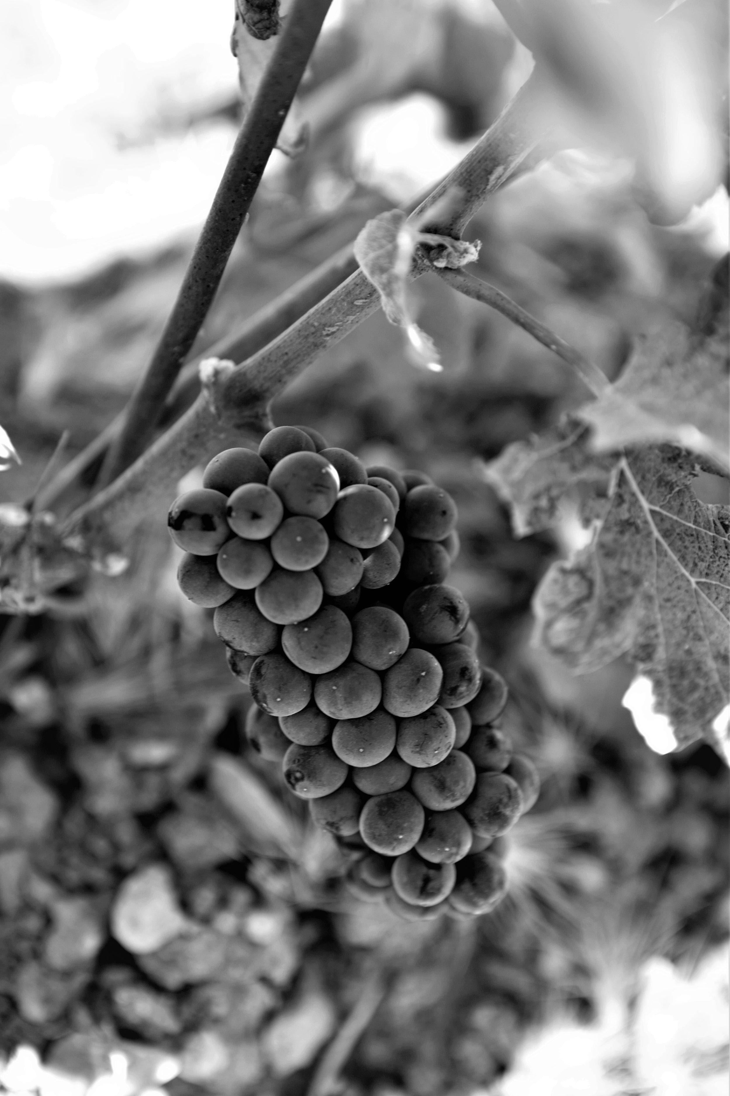 Pinot Noir  (Vertical 33).