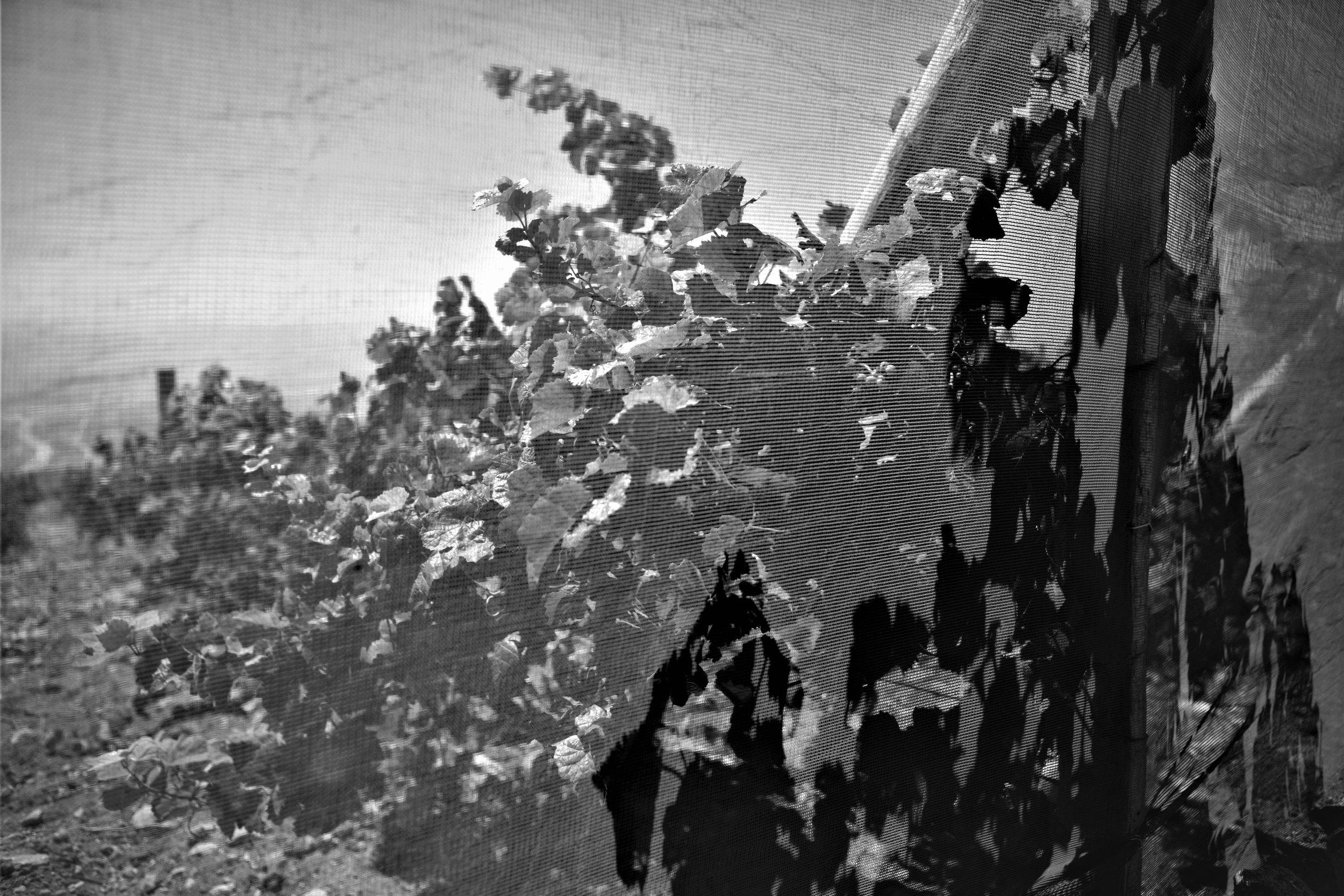Die Netzte dienen zum Schutz vor den Wüstenfüchsen, welche reife Trauben gerne in grosser Menge verschlingen wenn sie könnten (Vertical 33).