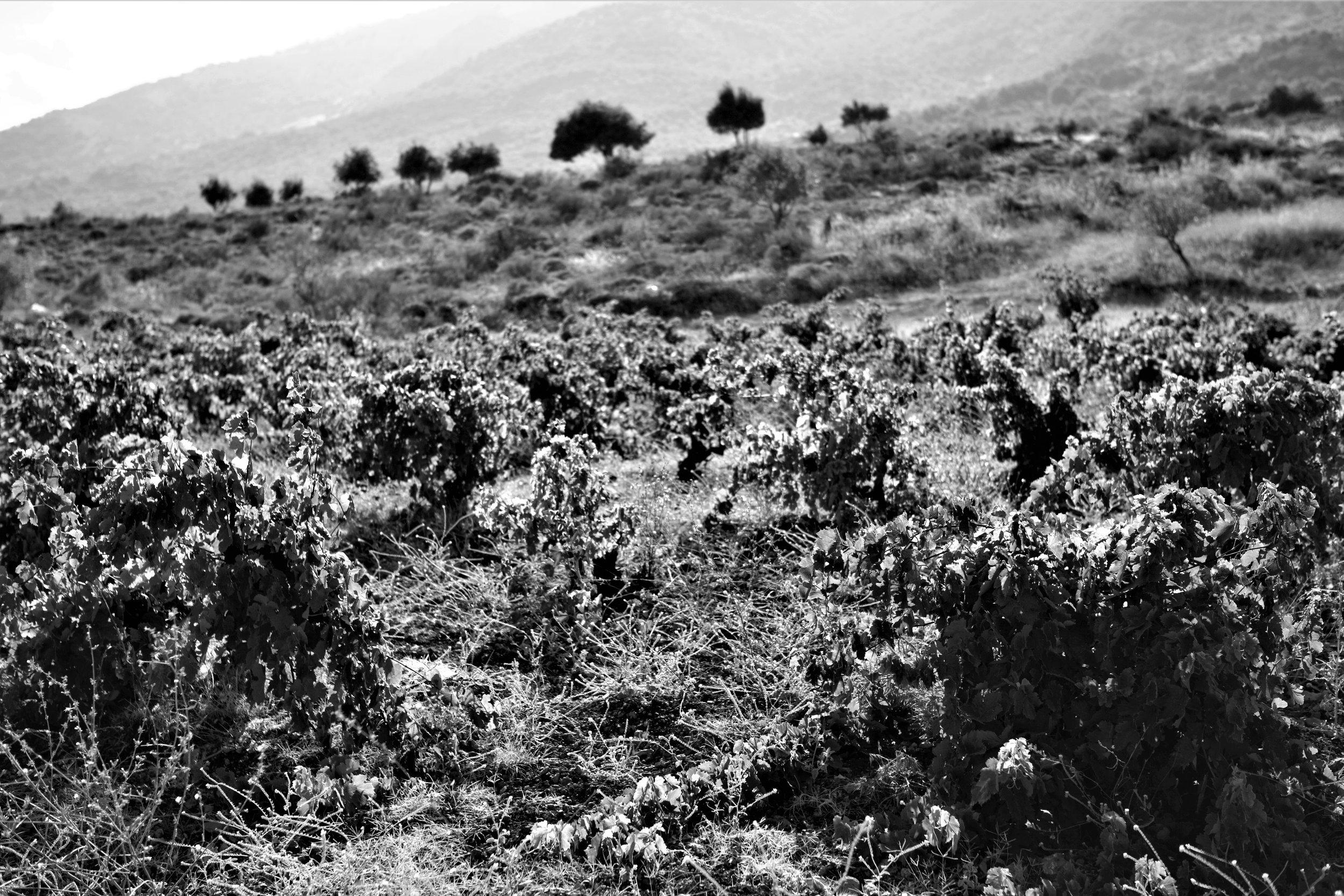 Buschreben im Bekaa Valley (Vertical 33).