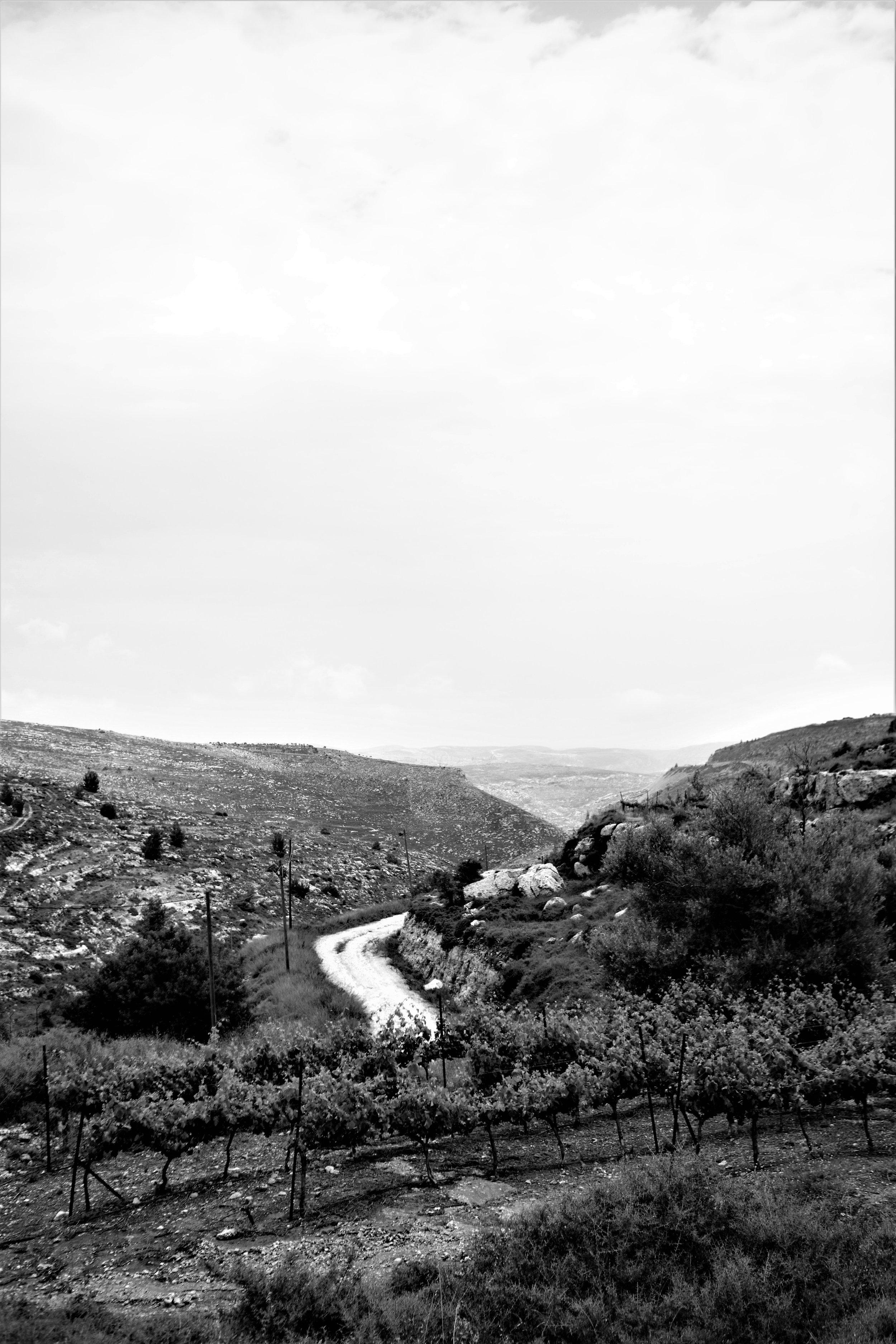 Reben der Psagot Winery am Rande der gleichnamigen Siedlung im Westjordanland. Die Landschaft ist hier noch biblisch –wüstenhaft, karg und unbebaut.