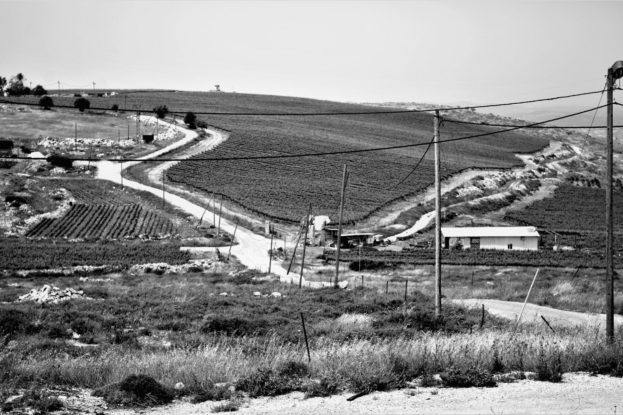 Ein Teil von Moshe Kimches Reben im Westjordanland.