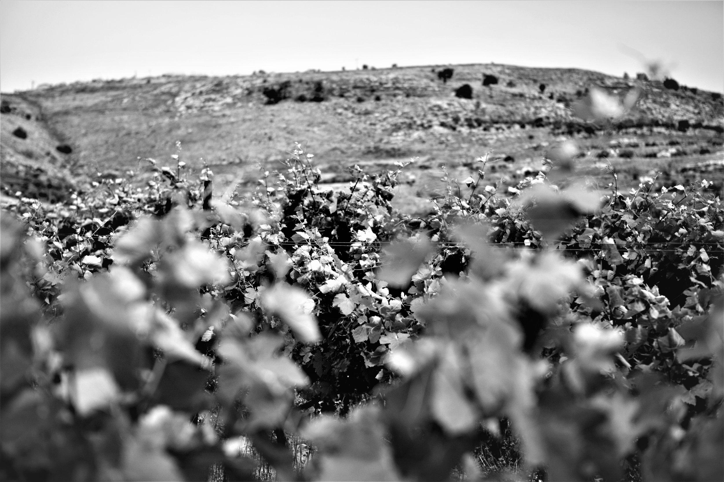 Moshe Kimches Trauben wachsen unweit der Stadt Nablus auf einem einem eingezäunten Feld.